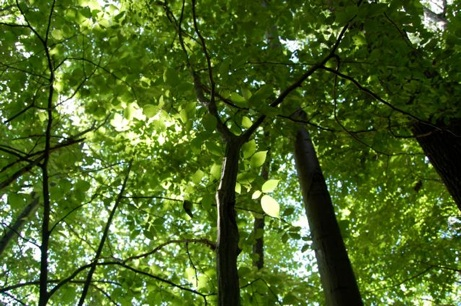 Canopy and subcanopy tree foliage on the University of Rochester South C&us. More than 40 native species of trees and shrubs occur in old-growth stands ... & Plant communities